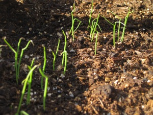 Tiny onion sprouts