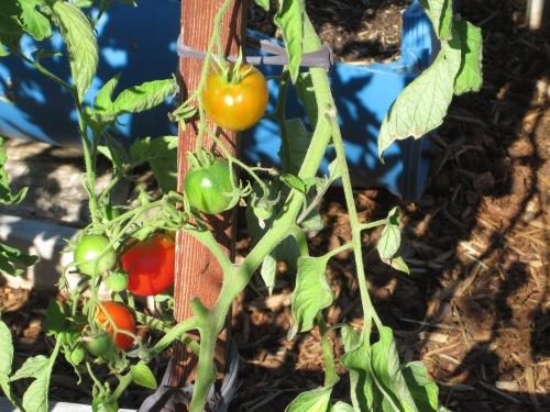 Stupice Tomato in the Garden