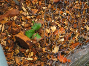 One lone strawberry leaf after filling this bed with compost and chips.