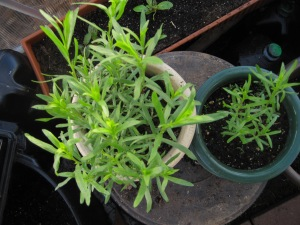 Tarragon makes a come-back