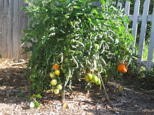 August 6 The Tomato Pole. 8 plants tepe style on one pole.