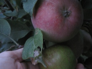 Fuji apples. The upper apple is on my tree, the one in my hand is from a neighbors tree (it was getting dark)