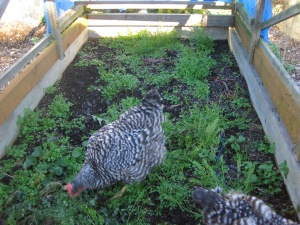 Inside the chicken tractor, working the former onion bed.
