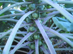 Brussels Sprouts, about to experience the sweetening effect of frost.