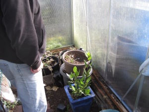 Inside the green house, the bay tree was just moved back in.