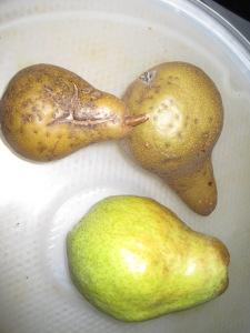 Bosc Pears from the neighbors tree and a BTE Bartlett pear. There was only a fence and a pile of chips between them.