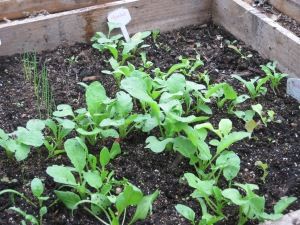 Radishes, scallions, spinach and greens in the greenhouse