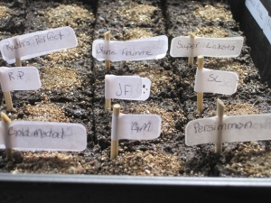 Soil Blocks of Tomato seeds.