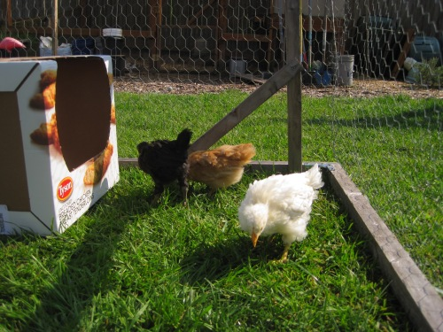Chicks out for a little sun