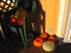 Just a few of the Toy Box Pumpkins and Squash. We have already been enjoying more then our fair share of squash. We even made enchiladas with squash cubes. YUM! We have a new one from uprising seeds that makes us wonder why we bother to grow any other squash or pumpkin. Called Potimarron, it is a dry flesh, bright orange squash that makes the best pumpkin biscotti ever!