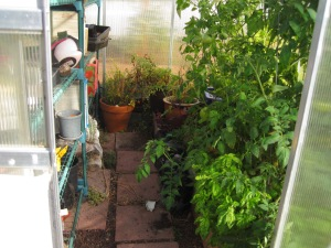 In the Green House; more tomatoes. They look pretty good. So does the basil growing at the base of the tomatoes.