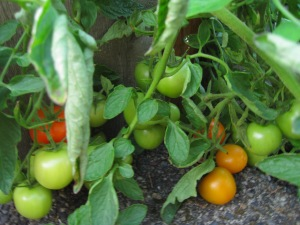 Front Garden tomatoes. October 2 and we are still getting tomatoes from the neglected front garden.