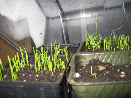January 19, 2016 (6) Onion Seedlings