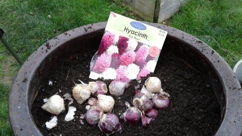 hyacinth-november
