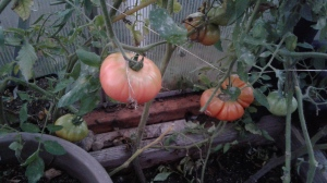 tomato-in-greenhouse