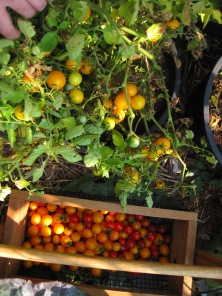 august-11-2015-1-tomato