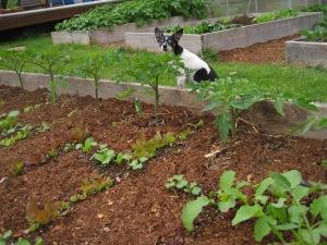 may-24-2015-12-rudy-lettuce-tomato