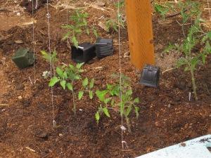may-24-2015-3-tomatoes