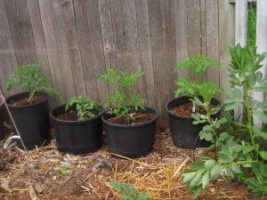 may-24-2015-4-tomatoes