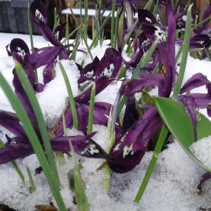 Iris February 18, 2018